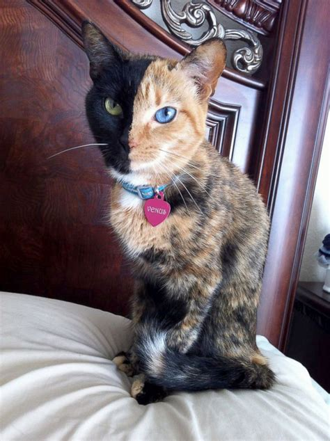 Two-Toned Cat Takes Internet By Storm Picture   Amazing
